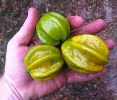 Pitanga Gigante ou Pitangatuba Amarela - Planta Adulta Já Produz - Ótima p/ Vasos