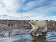 Un oso polar en la bahía de Hudson durante el verano de 2013.