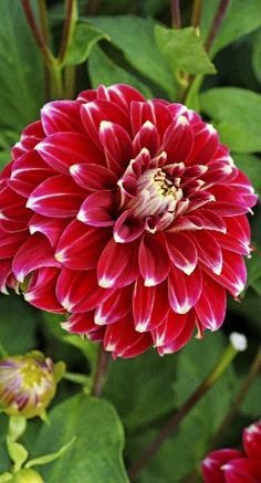 """~~Dahlia 'Red Rock' 