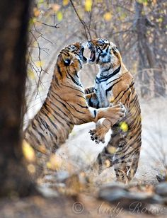 Andy Rouse - Wildlife Photographer| Tigers