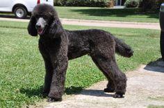 black standard poodle haircuts - Google Search