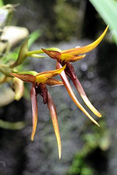 Levan's Bulbophyllum (Bulbophyllum levanae)