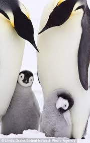 Image result for Caring Penguin Dads