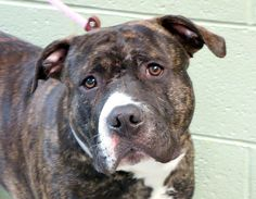 TO BE DESTROYED 12/11/13 Manhattan Center -P  EINSTEIN #A0986390 Male br brindle pit mix 3 YRS STRAY 12/02/13 This shy and nervous boy needs our help to get him a new home.  Many report he seems lost. A volunteer discovered HE KNOWS SPANISH & seemed much happier after hearing it! Big & beautiful, he did GREAT on his behavior exam despite being a bit fearful. Good w/ other dogs.  This sweet boy needs a loving family of his own & would probably fit in anywhere (as long as you have the room!).