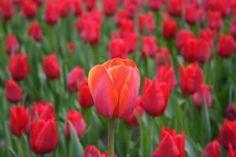 tulipa vermelha - Pesquisa Google