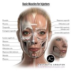 Basic Muscles for Injectors by KevinCease on DeviantArt Face Muscles Anatomy, Muscles Of The Face, Facial Anatomy, Head Anatomy, Muscle Anatomy, Facial Muscles, Body Anatomy, Anatomy Study, Botox Injection Sites