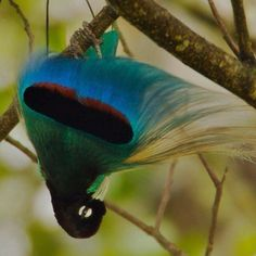 Photo by @TimLaman.  Male Blue Bird-of-Paradise performing courtship display, Tari Valley, Papua New Guinea.  No this picture is not upside down, the bird actually displays hanging like this.  The Birds-of-Paradise Project website is now live and you can learn more about all 39 species of Birds-of-Paradise.  #birds, #PNG, @thephotosociety. - @natgeo- #webstagram