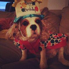 """They say it's your birthday... it's my birthday, too, yeah."" I'm Hund, and I'm 11. #partydress #cookies #allthefood #allthelove #birthday #birthdaygirl #presents #cheeseplease #cupcakes #cassie #cassiethecavalier #cavalierkingcharlesspaniel #cavalierkingcharlesspaniel #cavlife #cavworld #ckcs #cavaliersofinstagram #blenheimcavalier #cavaliersofnyc #poundpuppy #dogsofnyc #dogsoninstagram #nyc #harlem #nycmornings @smithespis"