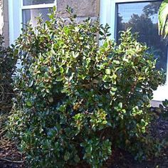 OnlinePlantCenter, 2 gal. Blue Prince Holly Shrub, I75815 at The Home Depot - Mobile