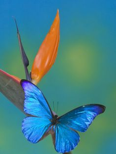 The Blue Morpho on Bird of Paradise Photographic Print by Darrell ...
