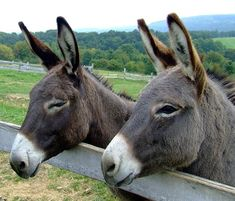 If you live on at least one to two acres of grass and want a unique pet, a miniature pet donkey may be for you. However, like any pet, miniature donkeys Pet Donkey, Mini Donkey, Mini Burro, Unique Animals, Cute Animals, Unique Pets, Miniature Donkey, Pet News, Hobby Farms