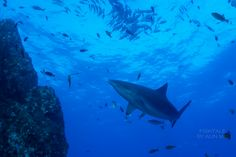 Top of the chain: the shark. Photo taken during WEPA expedition in Socorro #WEPAshark