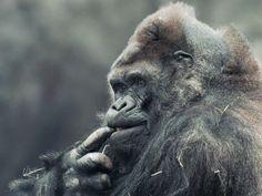 Ivan chews on his finger at Zoo Atlanta in 1996.