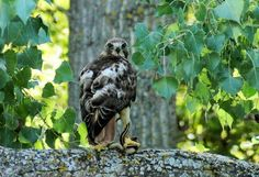 Red Tail Hawk with snake