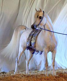Al Ayal AA - Se Stallion (AL AYAD X THE VISION HG)
