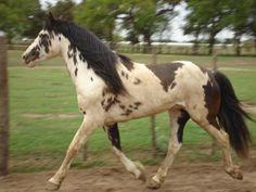 Del Nueve Grandero; Criollo stallion; bay sabino