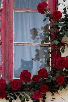Oh my goodness, this pic of black cat in window with red roses would make an awesome painting! Cat Window, Window View, Crazy Cat Lady, Crazy Cats, Red Cottage, Looking Out The Window, Foto Art, Through The Window, Cool Paintings