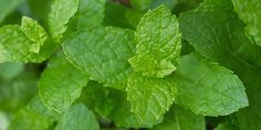 49 ways to use mint (and how to grow it in containers) | #‎Horticool‬ ‪#‎ApartmentGardening‬ ‪#‎Gardening‬