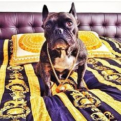 "This dog's bling probably cost more than your rent this month. | The ""Rich Dogs Of Instagram"" Are Bigger Ballers Than You"