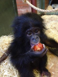 Bonobo Diet Lopori enjoys a variety of fruit and vegetables and eats the same food as all the other Bonobos. At the moment Lopori has a taste for tomatoes, which is also a firm favourite of her dad, Kakowet. Cute Baby Animals, Animals And Pets, Funny Animals, Beautiful Creatures, Animals Beautiful, Baby Chimpanzee, Cute Monkey, Cute Animal Pictures, Pet Birds