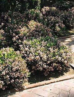 Indian Hawthorne - small evergreen shrub; fragrant pink or white flowers bloom in Spring; needs full sun.