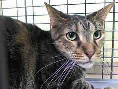 KILLED at ACC!! :( TO BE DESTROYED 1/17/15 *NYC* Poor Duffy was brought in when her pet parent died. * Manhattan Center * My name is Duffy. ID is #A1024855, female brn tabby. 10 years old. Per vet exam: allowed limited exam, crouching in corner, strikes if pressured. Please foster, adopt or pledge! Duffy has lost her home and her best friend.. Please don't let her lose her life too!!