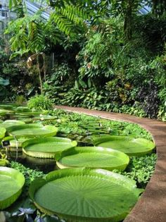 GIANT Victoria amazonica...!! One of my favourite places in the whole-wide-world - inside the Glasshouse at the Royal Botanic Garden in Edinburgh, Scotland.