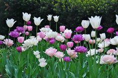 Tulip 'Blue Parrot',Tulip 'Blue Spectacle',Tulip 'Clear Water',Tulip 'Mount Tacoma',Tulip 'Pink Diamond',Tulip 'Swan Wings',Tulip 'White Triumphator'