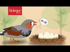 Video: Zebra finch call prepares their eggs for climate change By Virginia MorellAug. 18, 2016 , 2:45 PM Scientists have long worried whether animals can respond to the planet's changing climate. Now, a new study reports that at least one species of songbird—and likely many more—already knows how to prep its chicks for a warming world. They do so by emitting special calls to the embryos inside their eggs, which can hear and learn external sounds.