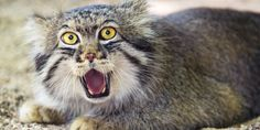 On the arid steppes of Asia lives an elusive and noble feline.  The Pallas' Cat, also known as the manul, is a stocky, solitary animal around the same size as a housecat. You're not likely to catch a glimpse of them in the wild, as they hang out in...