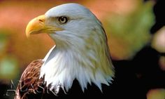 Alaska is home to the largest concentration of bald eagles in the world