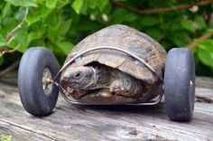 Mrs. T, a 90-Year-Old #tortoise, moves twice as fast after having her legs replaced with wheels due to a rat attack.