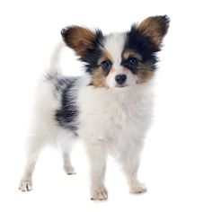 Papillon Puppy! http://www.localpuppybreeders.com/papillon-dog-breed-information/