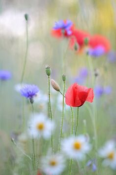 Blue cornflowers, red poppies, daisy in the meadow~ the floral trifecta as far as I'm concerned! I want a field of this.
