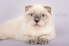 Cruel Morgana of Simba Iceberg, blue point Scottish Fold