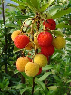 Aguardente de medronho is an alcoholic drink made from this fruit. The tree is called medronheira.