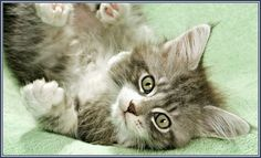 Terrific Maine Coon Cat Images More Cats http://funfunblog.com/maine-coon-cat-images
