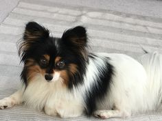 Zippy the papillon, just had a spa day. Looking gorgeous..