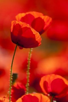 Red Poppies  –  Amazing Pictures - Amazing Travel Pictures with Maps for All Around the World