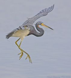 TRI COLORED HERON BALLET | by Nature's Photo Adventures - David G Hemmings