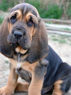 Newborn Bloodhound Puppies