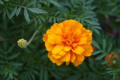 Marigolds: How to Plant, Grow, and Care for Marigold Flowers | The Old Farmer's Almanac