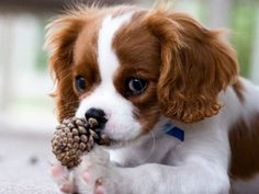 """Interesting, I think I'll chew on this.  Mommy called it a pine Cone. """"Cone"""" ... Does it taste like Ice Cream?"""