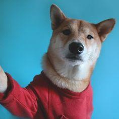 Bohdi el perro modelo que gana miles de dólares.   Bossa