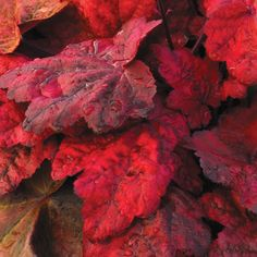 Heuchera 'Autumn Leaves' - Heuchera prefer moderately moist soil. They're an easy-care perennial for the shaded garden. Hardy to zone 3.
