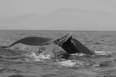 Whale Tail Whale Tail, Landscape, Animals, Animais, Animales, Animaux, Animal, Dieren