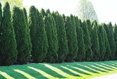 Which Is Better: Cypress or 'Green Giant' Arborvitae? – Gardening for beginners and gardening ideas tips kids Green Giant Arborvitae, Arborvitae Tree, Emerald Green Arborvitae, Landscaping Around Pool, Landscaping Trees, Privacy Landscaping, Backyard Privacy, Evergreen Trees For Privacy, Shrubs For Privacy