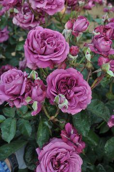 Bush Floribunda Rose /'BURGUNDY ICE/'Dark Plum Purple Fragrant  Blooms Bareroot