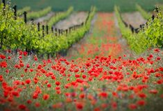 Tuscany vineyards and vast fields of poppies