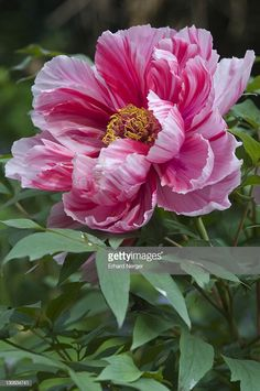 Stock Photo : Tree peony (Paeonia suffruticosa 'Shima-Nishiki') The single most enchanting flowers in the Small Flower Gardens, Small Flowers, Pretty Flowers, Pink Flowers, Paper Flowers, Photos Of Flowers, Peony Flower Pictures, Pink Peonies, Peony Painting